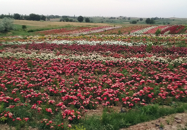 Питомник «Zaxriddin Flower Plantation»