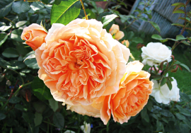 Crown Princess Margareta' = 'AUSwinter